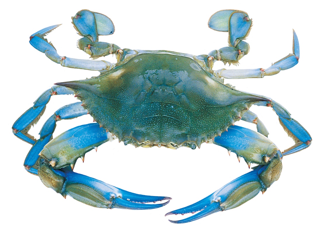 1000 images about Blue Crab .