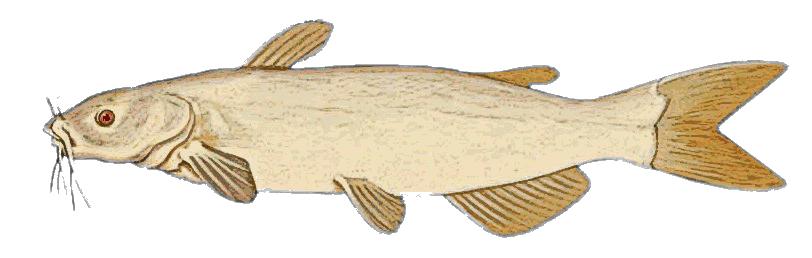 Albino Channel Catfish