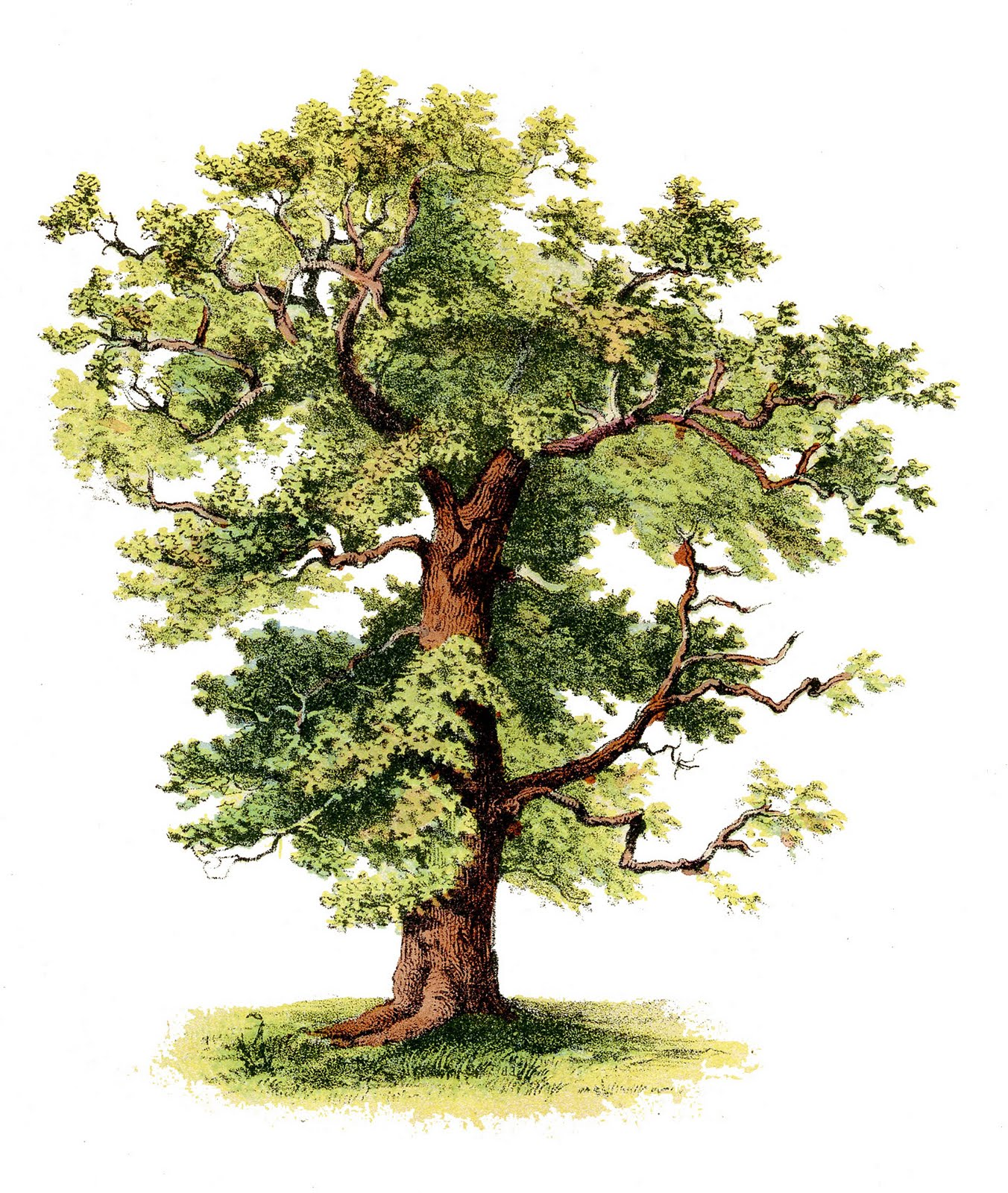 Antique Clip Art Beautiful Tree The Graphics Fairy