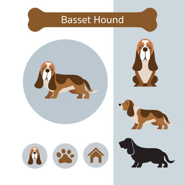 Basset Hound Dog Breed Infographic vector art illustration