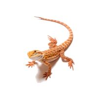 Bearded Dragon Clipart PNG Image