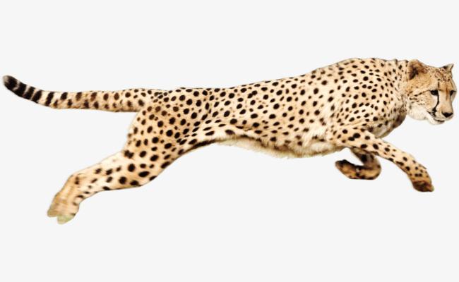 running cheetah, Cheetah Clipart, Cheetah, The Beast PNG Image and Clipart