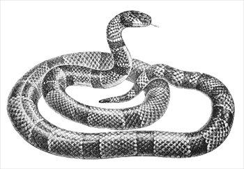 coral-snake-2