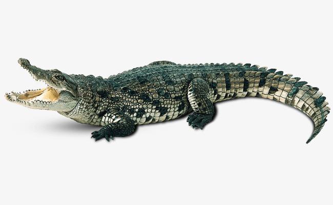 aquatic crocodile, Crocodile Clipart, Chinese Alligator, Crocodile PNG  Image and Clipart
