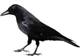 crow clipart black and white - Google Search
