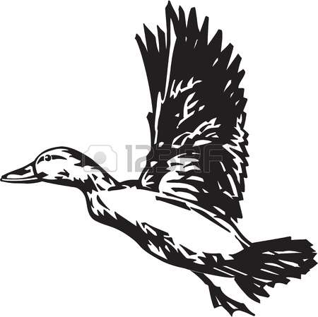 duck hunting: Pintail Duck