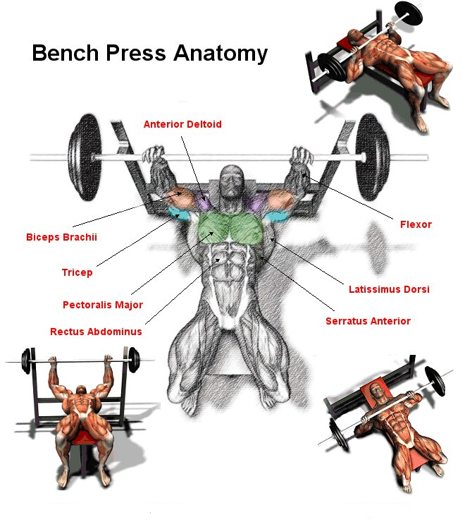 BENCH PRESS The bench press is perhaps the most widely used exercise out  there. Almost