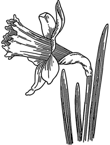 Free Daffodil Clipart