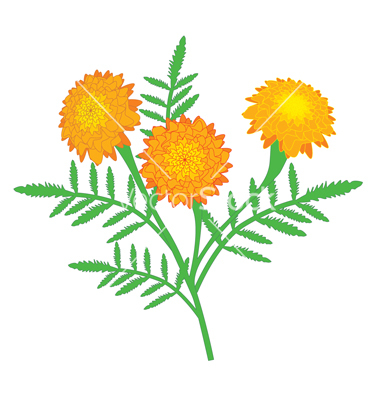 ... free marigold clipart ...