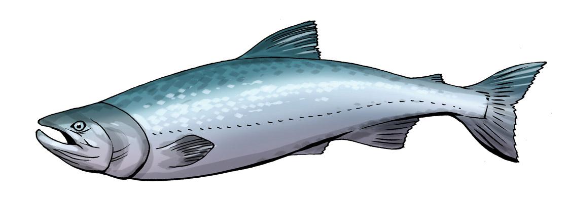 Free Salmon Clip Art