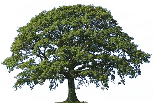 Gallery For Oak Tree With Roots Clip Art