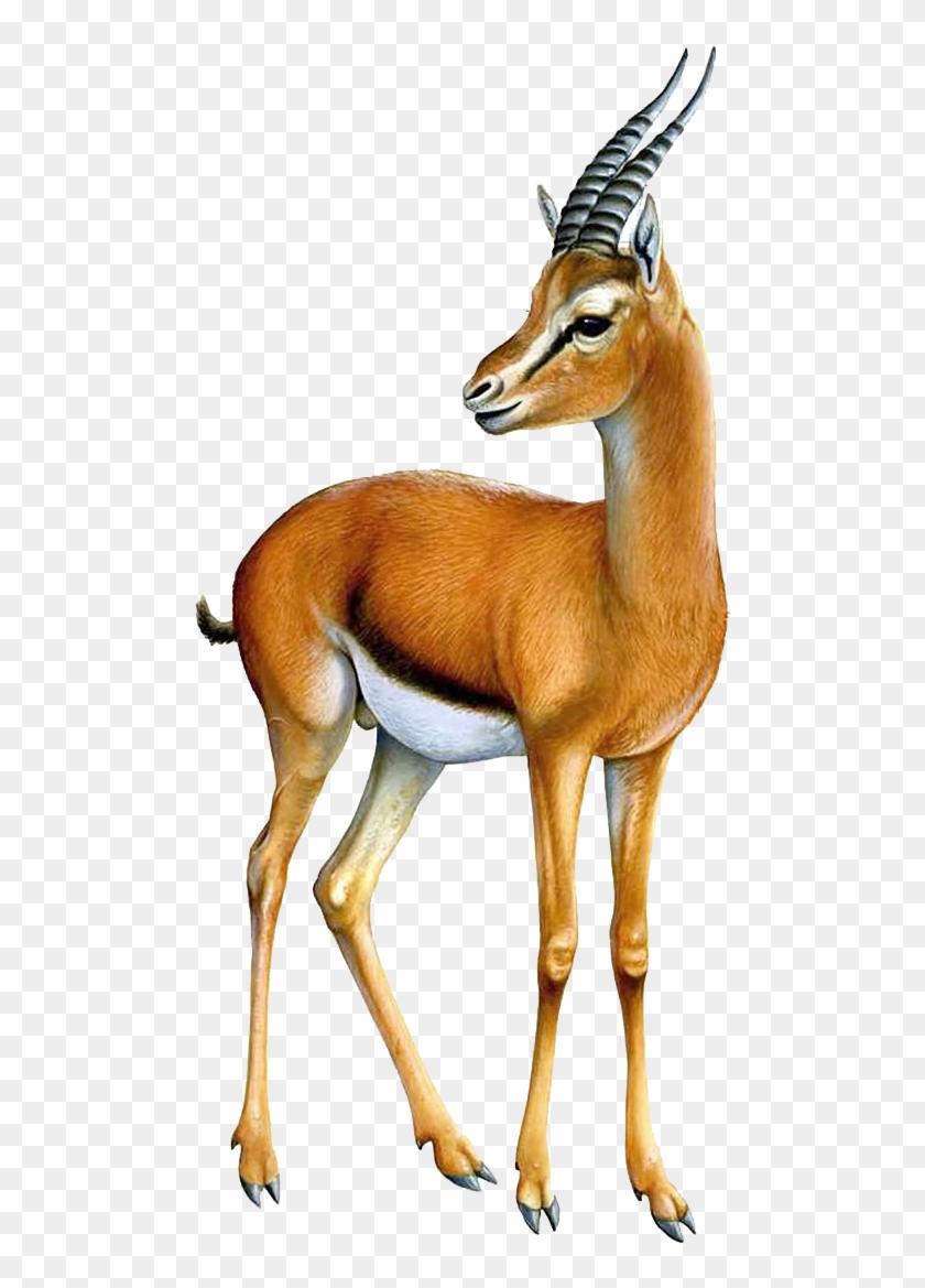 Thomsonu0027s Gazelle Png #408831