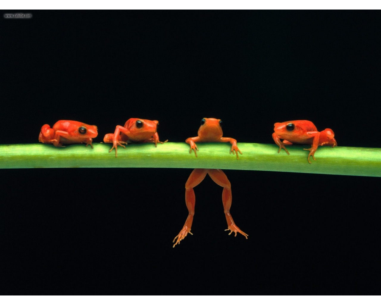 Hang in There Red Tree Frogs wallpaper
