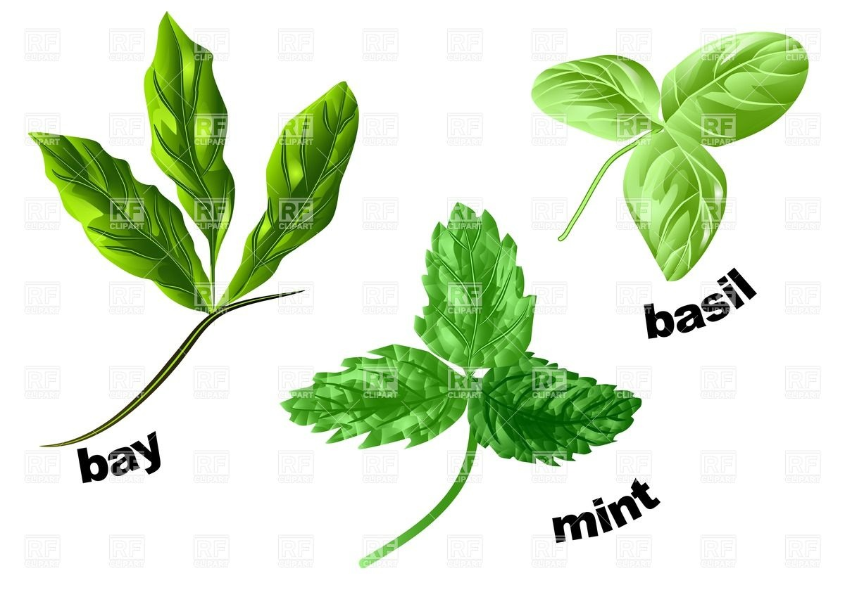Herbs mint, basil and bay isolated on a white Royalty Free Vector Clip Art