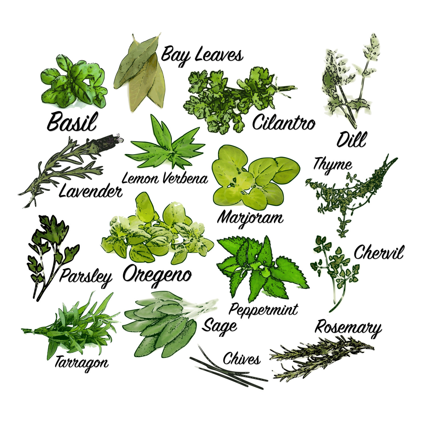 ????zoom - Herbs Clipart