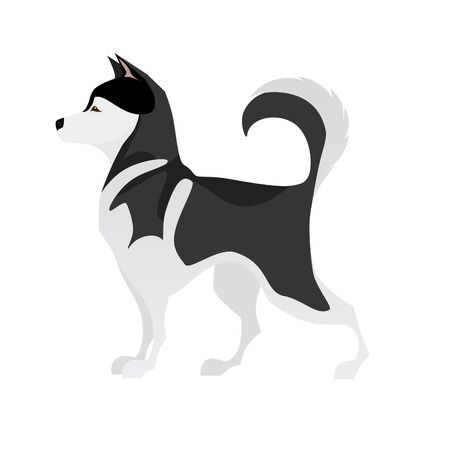 Isolated adorable black and white young pet Husky