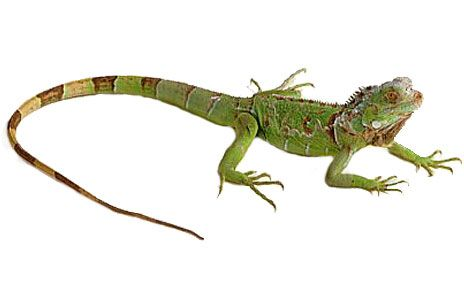 Iguana Clipart