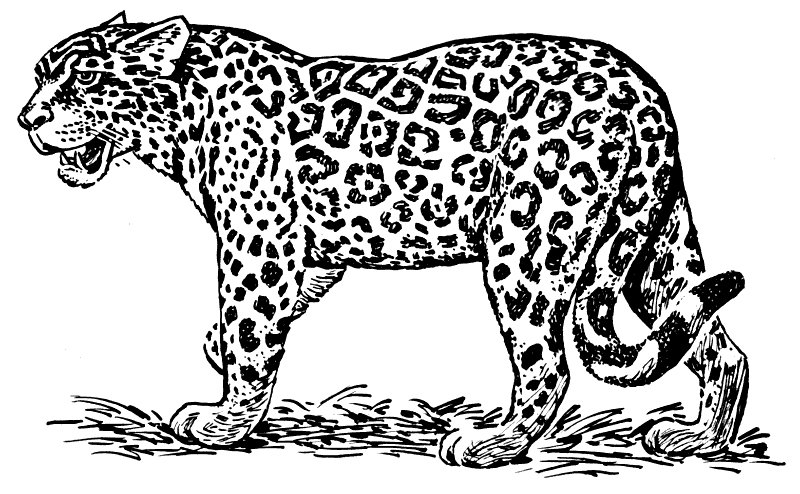 Jaguar Clipart Black And White - Pencil And In Color Jaguar pertaining to Jaguar  Clipart Black