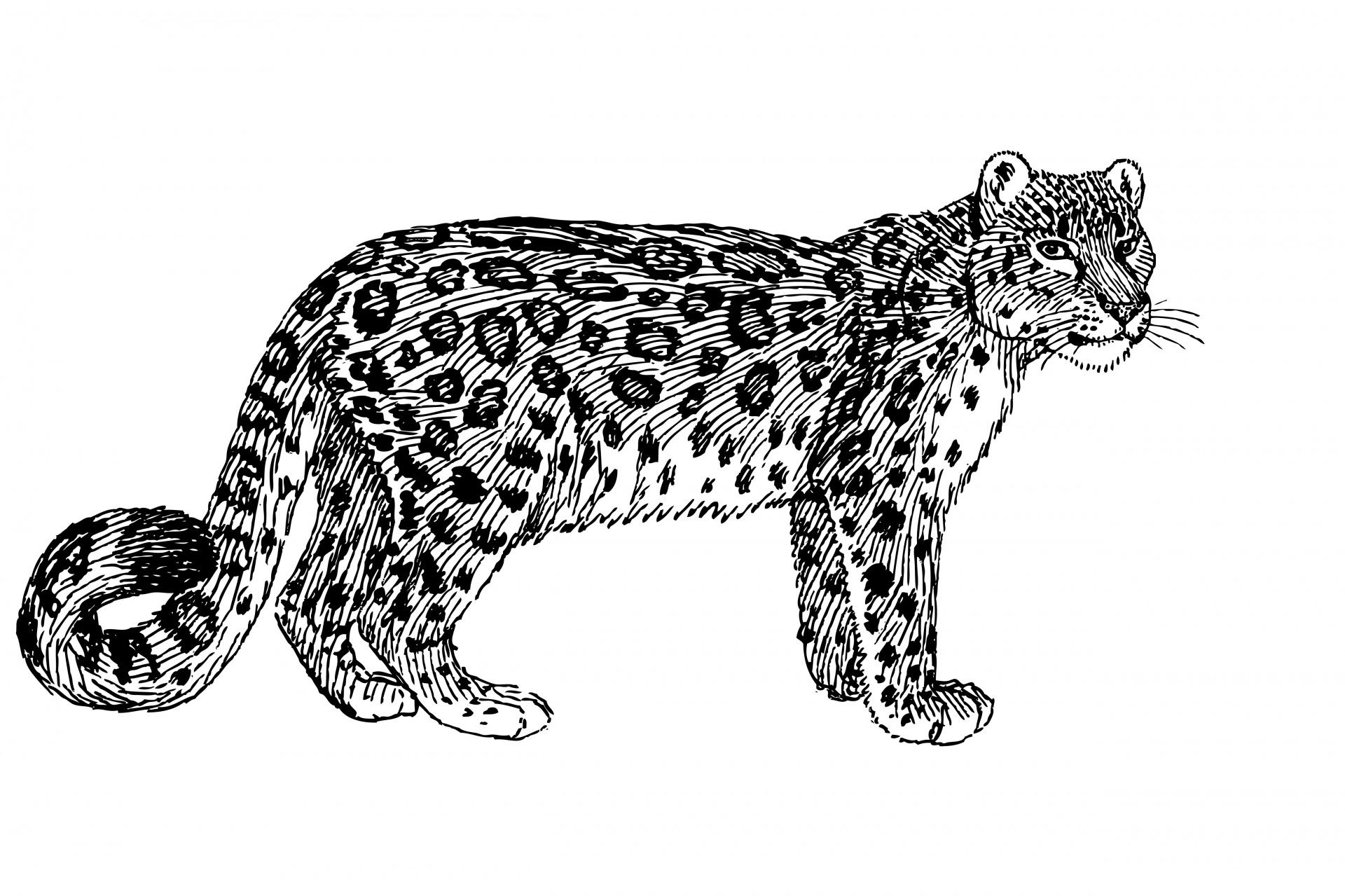 Snow Leopard Illustration Clipart Free Stock Photo
