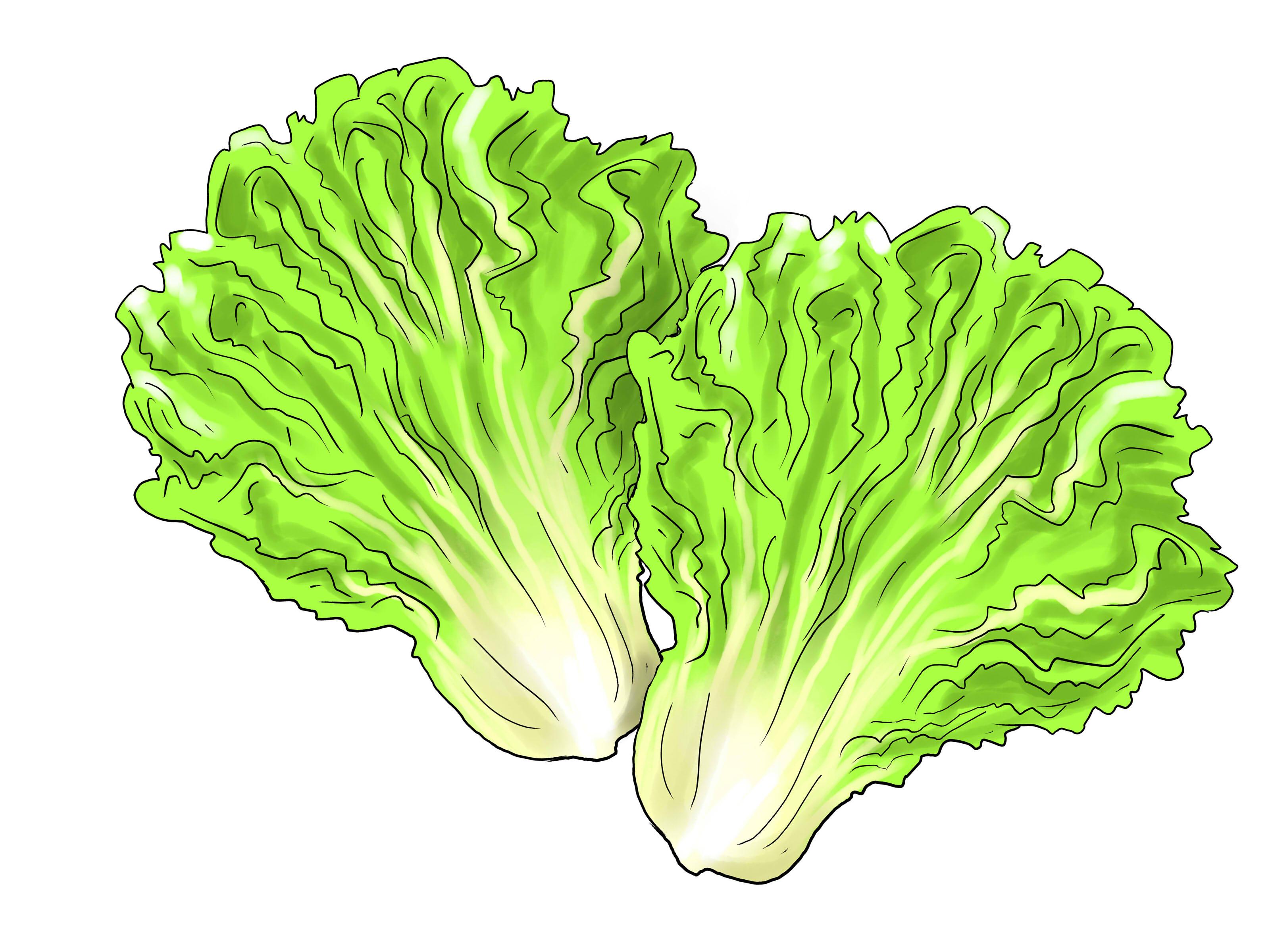 Cliparti1 Lettuce Clipart