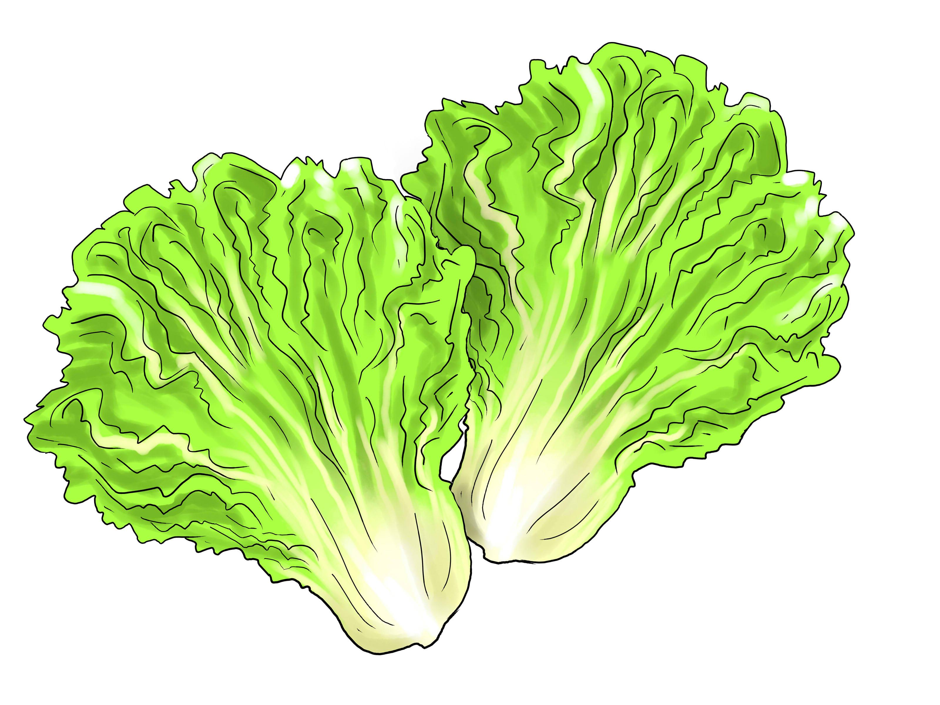 Hd lettuce leaf clipart cdr
