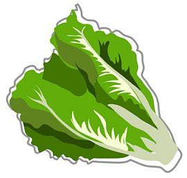 Lettuce clipart 3