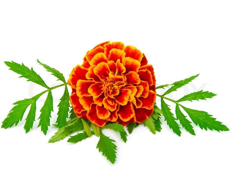 ... marigold clipart tumundografico marigold clipart tumundografico ...