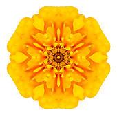 marigold flowers isolated white background ...