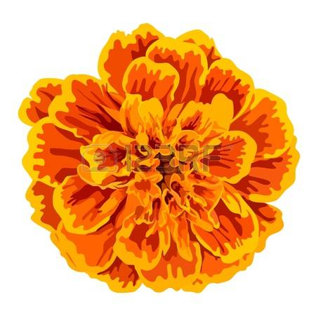 marigold: orange marigold flower isolated on white background
