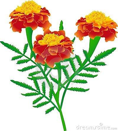 Marigolds Stock Illustrations u2013 145 Marigolds Stock Illustrations, Vectors u0026amp; Clipart - Dreamstime