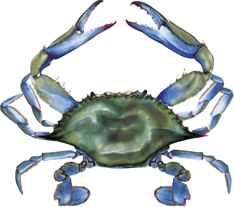 Maryland Blue Crab Clip Art