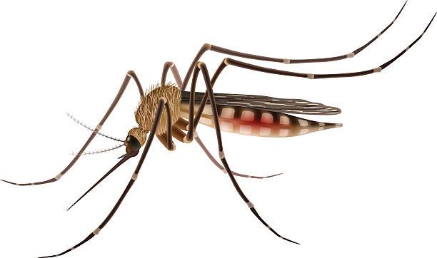 Mosquito realistic illustration vector art illustration