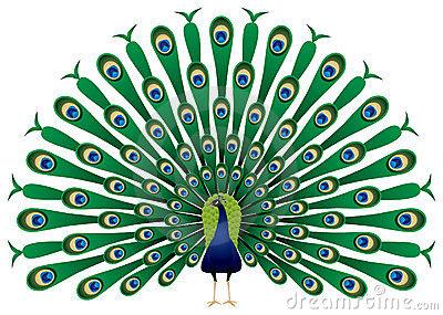 Peacock Stock Illustrations u2013 6,536 Peacock Stock Illustrations, Vectors u0026amp; Clipart - Dreamstime