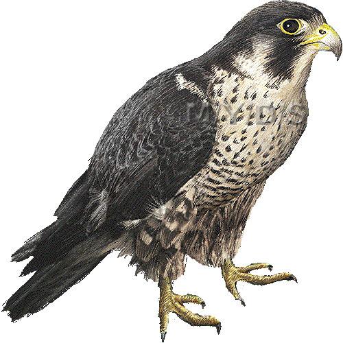 Peregrine Falcon Clipart Graphics Free Clip Art
