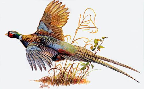 Pheasant clipart