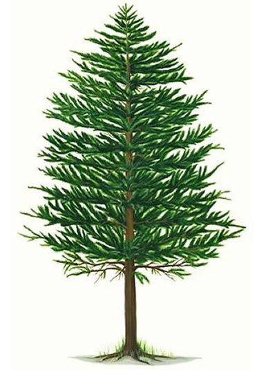 Pine Tree Clip Art | Pine Tree for the Newlyweds | Peacock River Ranch