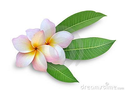 Plumeria Hawaiian Flower Clip Art