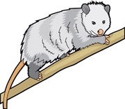 opossum_726 opossum. Size: 78 Kb From: Mammal Clipart