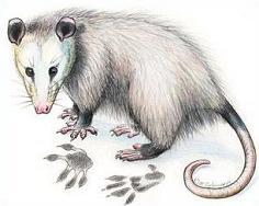 Possum clipart #3