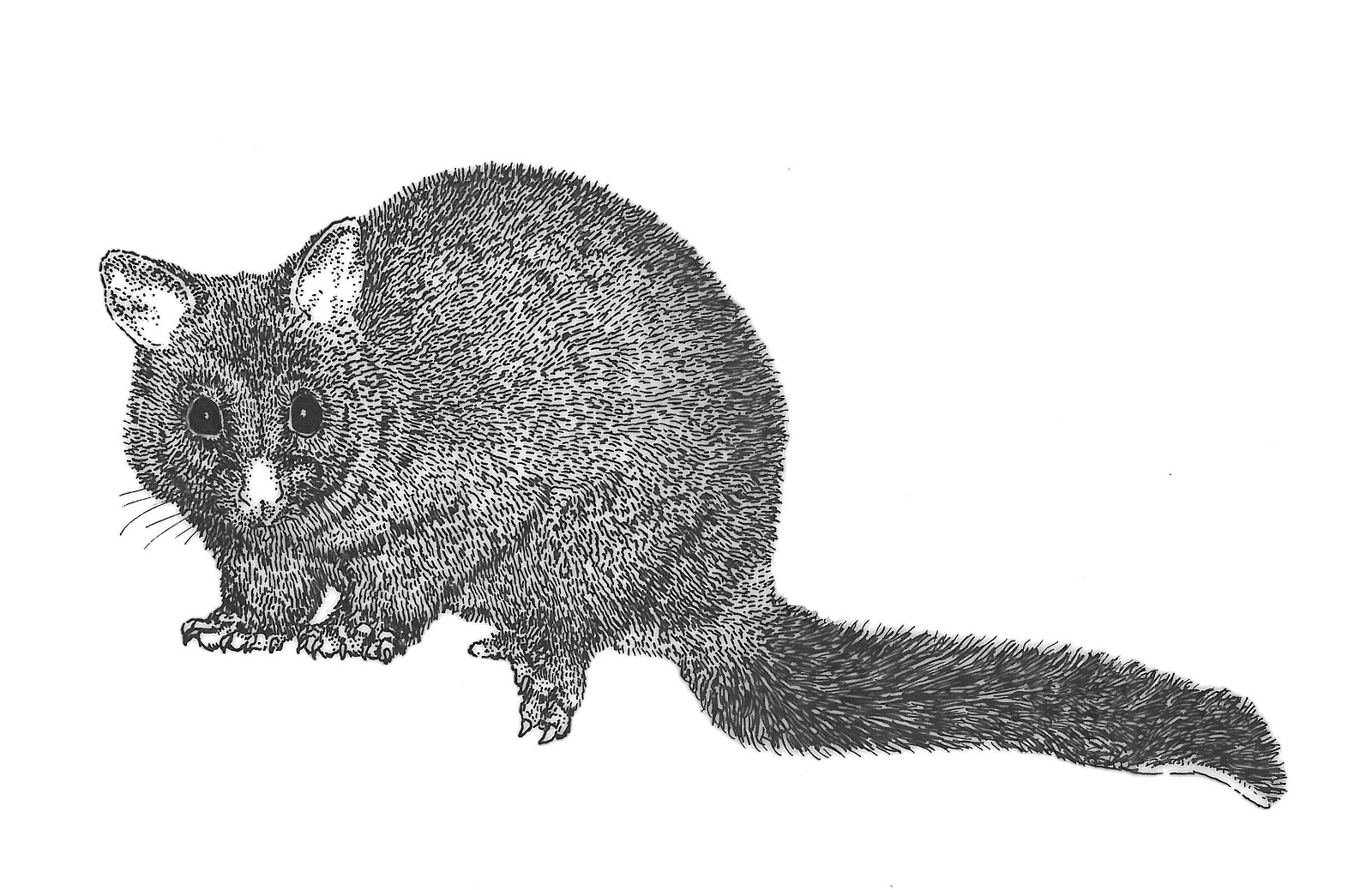 Sleeping possum clip art clipart Possum Clipart 2