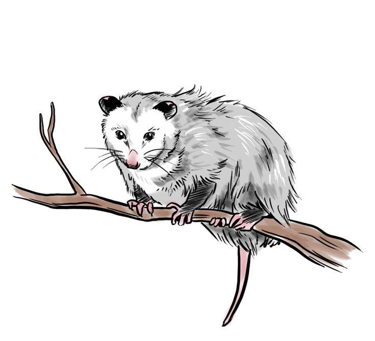 Sleeping possum clip art clipart Possum Clipart