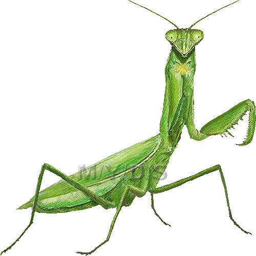 praying mantis clip art #10