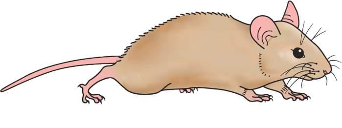 Clipart Rat Rat Clip Art Free Clipart Panda Free Clipart Images Science  Clipart