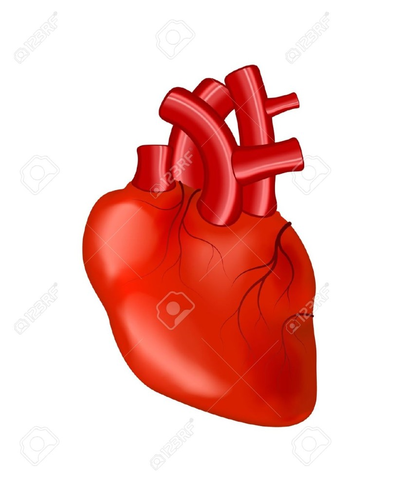 Organs clipart actual heart #3
