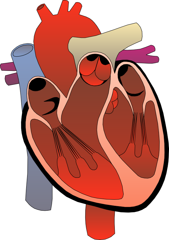 real heart clipart human heart clip art free clipart images 2 clipartbarn  science clipart