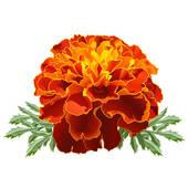 Red Marigold (Tagetes)