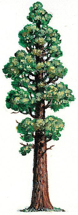 Redwood Tree Drawing .