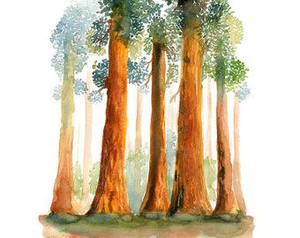 Redwoods-Landscape .