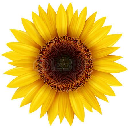 sunflower: Sunflower isolated, illustration.