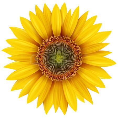 sunflower: Sunflower isolated, vector illustration.